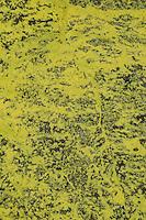 Schwefelflechte, Schwefel-Flechte, Lepra-Schwefelflechte, Gelbe Staubflechte, Chrysothrix chlorina, Lepraria chlorina, Sulfur dust lichen