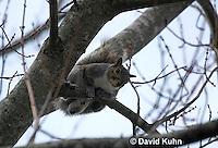 1221-0902  Gray Squirrel Climbing in Tree During Winter, Sciurus carolinensis  © David Kuhn/Dwight Kuhn Photography
