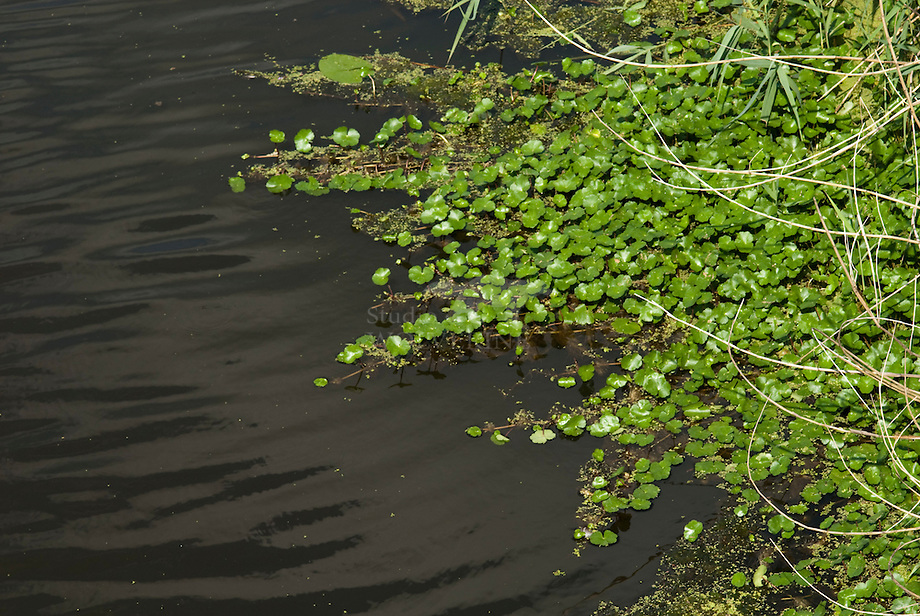 Grote waternavel (Hydrocotyle ranunculoides)