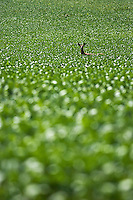 A white tailed deer crosses a farmer's field Sept. 6 near Skaneateles, NY.