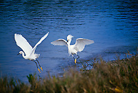 Snowy egrets, Egretta thula, one with plume chase each other away, Florida USA