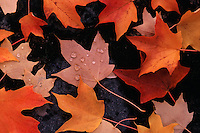 Close up abstract of maple leaves wet with dew in autumn.