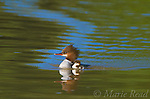 Common Merganser (Mergus merganser) adult female swimming with duckling, Lansing, New York, USA
