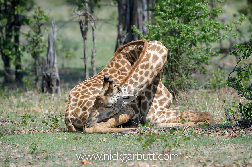 Male Thornicroft's Giraffe (Giraffa camelopardalis) resting / sleeping. South Luangwa National Park, Zambia.