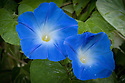 Morning glory (Ipomoea tricolor 'Heavenly Blue'), early September.