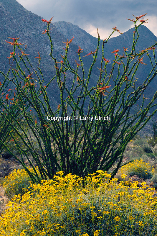 Brittlebush and ocotillo<br />