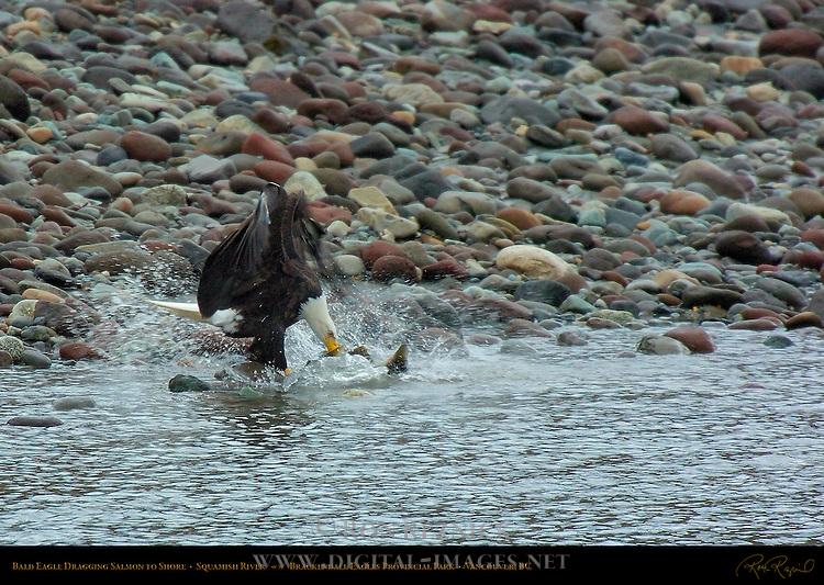 Bald Eagle Dragging Salmon to Shore, Squamish River, Brackendale Eagles Provincial Park, Vancouver, British Columbia