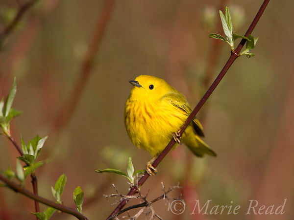 Yellow Warbler (Dendroica petechia), male perched in red-osier dogwood, New York, USA