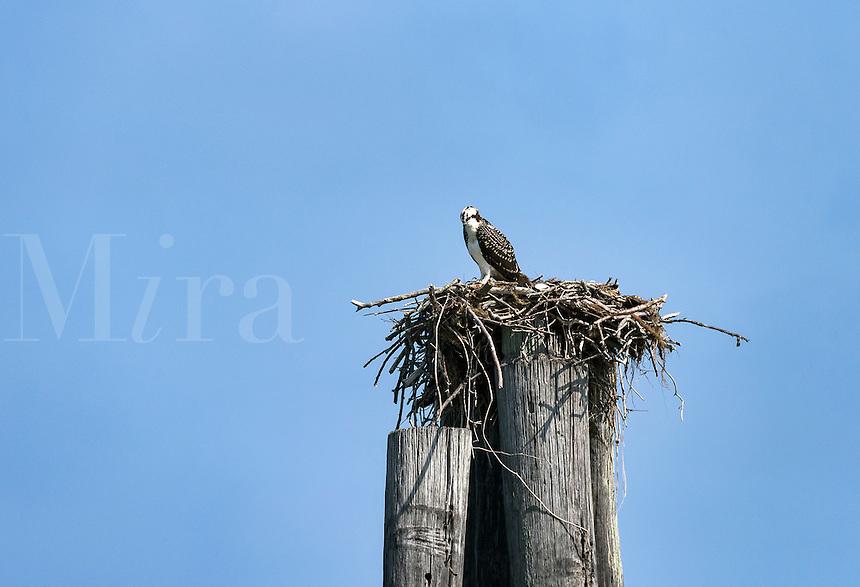 Osprey in salt marsh nest, Cape Charles, Virginia, USA