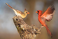 northern cardinal, Cardinalis cardinalis, pair in courtship, Bandera, Hill Country, Texas, USA, North America