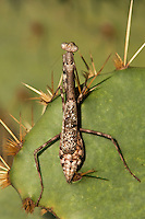 362430004 a wild carolina mantid stagnomantis carolina perches on an opuntia succulent pad in southeast regional park austin travis county texas united states