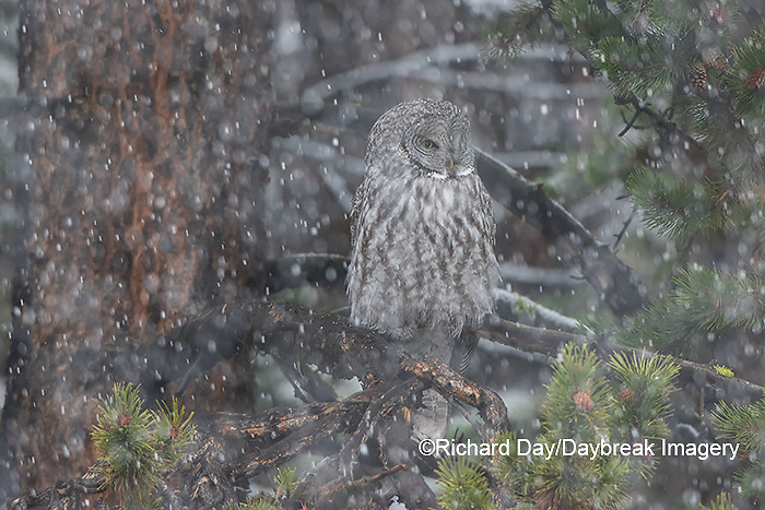 01128-00110 Great Gray Owl (Strix nebulosa) in snowstorm, Yellowstone National Park, WY