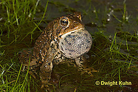 FR11-547z  American Toad Male singing for mate, Bufo americanus or Anaxyrus americanus