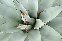 Convergent Ladybug (Hippodamia convergens), adults hibernating in agave plant, Davis Mountains, West Texas, USA