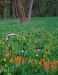 Ochoco National Forest, OR<br /> Mules ears (Wyethia amplexicaulis) in an open meadow among ponderosa pines at Big Summit Prairie, Ochoco mountains