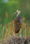 Limpkin (Aramus guarauna), Viera Wetlands, Florida, USA