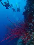 Blue Corner, Palau -- Divers swimming along a sea wall.