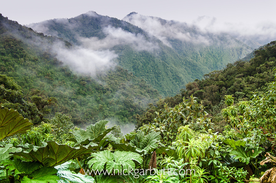 Montane Cloud Forest with Gunnera sp. near Yanacocha, Western slopes of the Andes, Ecuador.