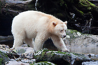 "Kermode ""Spirit"" Bear walking on a mossy rock along a river"