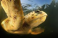 Sea Turtles, Turkey