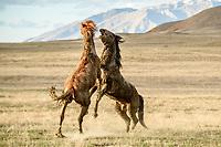 Uprising. Mustang stallions. Great Basin Desert, Utah