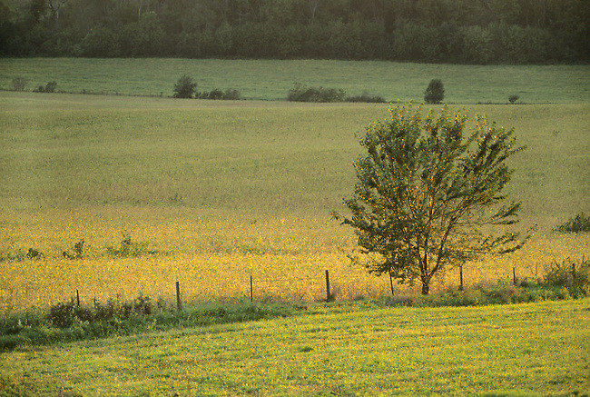 A lone tree guards a fence line on a farm in Fillmore County, Minnesota