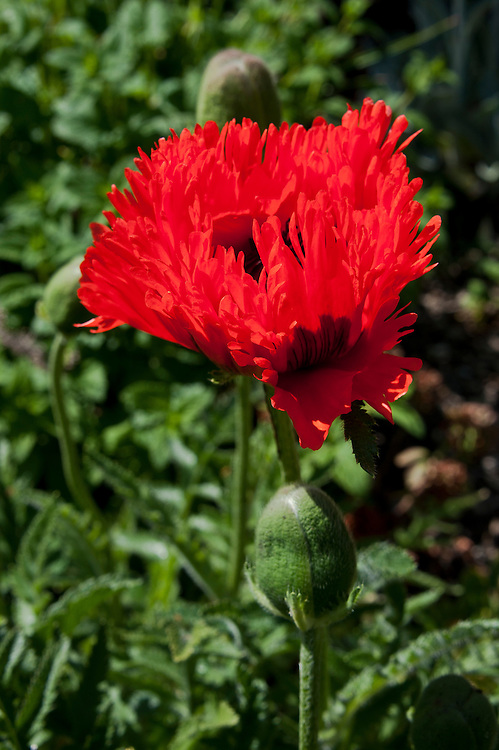 Red Oriental poppy (Papaver orientale 'Flamenco Dancer'), late May.