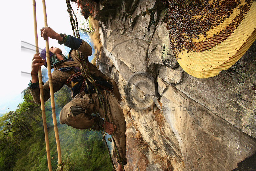 The outer part of the wax disc is occupied by the brood cells harboring the larvae. Bolo Kesher must first slice this away using a long bamboo pole fitted with a wooden tip that has been whittled to form a flat blade.