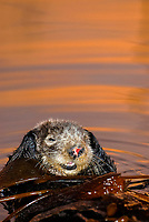 Southern sea otter, Enhydra lutris nereis, resting in kelp, female, yawning, reflection, sunset, dusk, vertical, Monterey, California, USA, pacific ocean, national marine sanctuary, endangered species