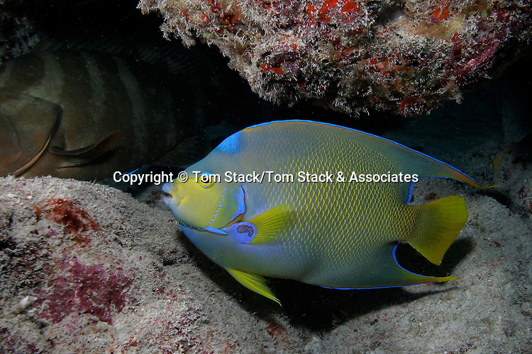 Angelfish, possible a hybrid between Queen and Blue Angelfish, Key Largo, Florida