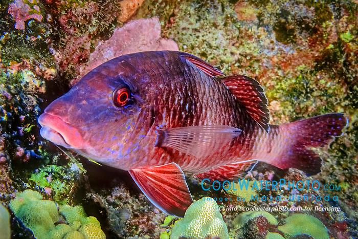 manybar goatfish, Parupeneus multifasciatus, resting at night, moano in Hawaiian, Kona Coast, Big Island, Hawaii, USA, Pacific Ocean