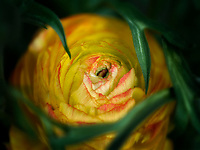 Close up of yellow Ranunculus.