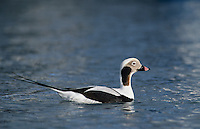 Long-tailed Duck, Clangula hyemalis, male winter plumage, Homer, Alaska, USA