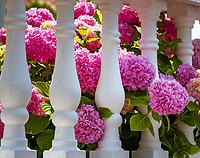 Croatia, Kvarner Gulf, Novi Vinodolski: pink blooming Hydrangeas | Kroatien, Kvarner Bucht, Novi Vinodolski: rosa bluehende Hortensien (Hydrangea)
