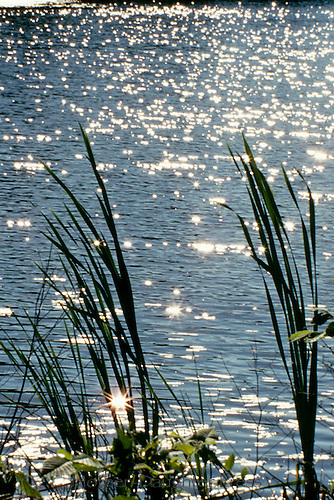 Water reeds, lake, sunlight, shore, vertical, pond, sunlight,