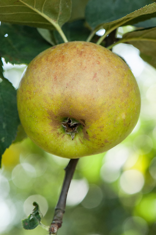 Apple 'Aldenham Blenheim', late September. A slightly more colourerd form of the English dual-purpose culinary-dessert apple 'Blenheim Orange', discovered in the 1920s at Aldenham House in Hertfordshire.