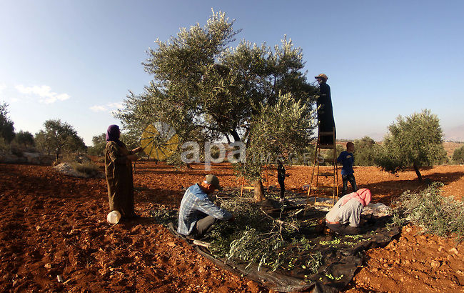 Palestinians harvest olives during harvest season in the west bank city of Nablus on Oct. 9, 2014. Farmers are harvesting their olives from mid-October until the start of November this year. Photo by Nedal Eshtayah