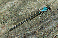 Blue-fronted Dancer (Argia apicalis) Damselfly - Female, Blue Form, Silver Lake Preserve, West Harrison, Westchester County, New York