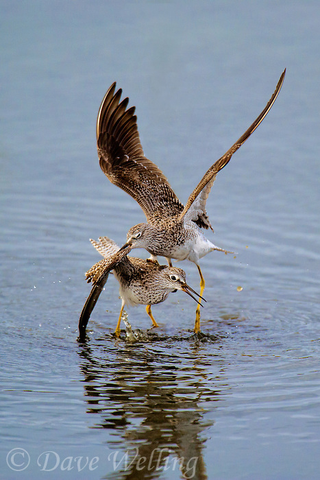598250010 a pair of male lesser yellowlegs tringa flavipes engage in dominance display and fighting in a small pond on south padre island cameron county texas united states