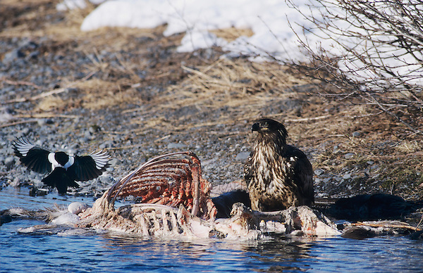 Bald Eagle, Haliaeetus leucocephalus,immature eating on Moose Carcass, Portage Glacier, Alaska, USA, March 2000