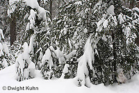 MA19-533z  Snowshoe Hare camouflaged in snow, Lepus americanus