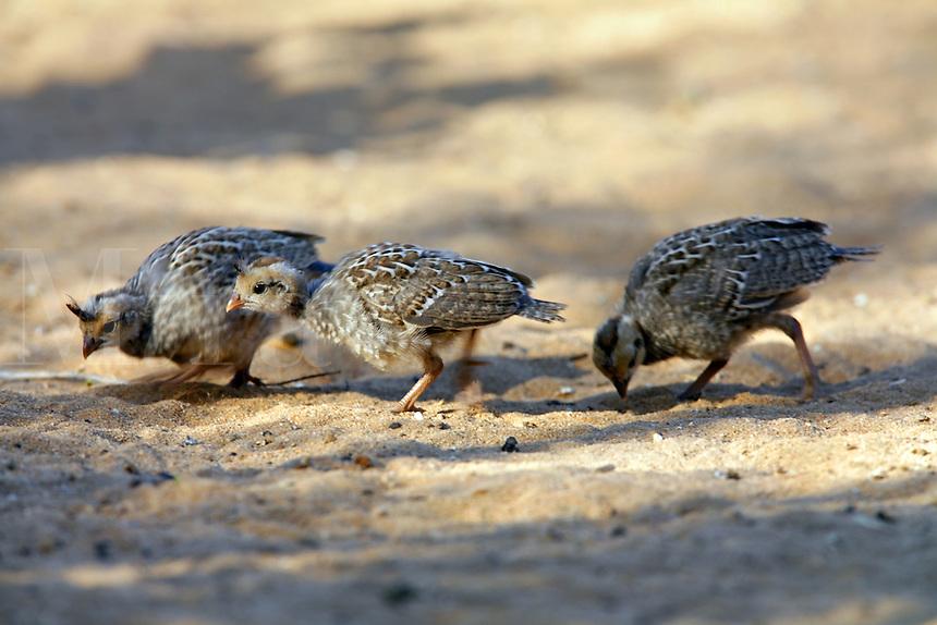 Gambel's Quail adult with babies, Pioneertown, Mojave Desert, California..