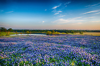 Early morning bluebonnet landscape at the ranch. A lovely field of Texas bluebonnets in the early morning light with this pond or tank for watering livestock at this ranch. This is another capture from the Ennis Bluebonnet Trail.