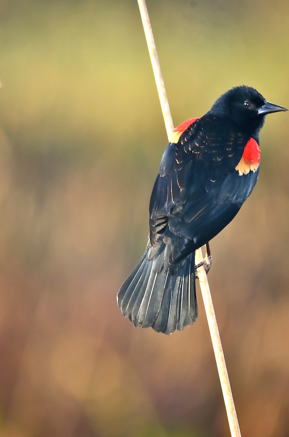 Red-winged Blackbird giving us the eye.  Green Cay Wetlands, Delray Beach, FL, United States