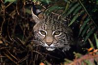 Bobcat (Felis rufus),  Western U.S.