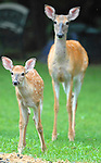 A doe and fawn
