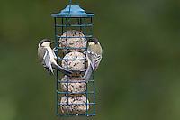 Kohlmeise an der Vogelfütterung, Fütterung am Meisenknödel, Knödelhalter, Fettfutter, Kohl-Meise, Meise, Meisen, Parus major, great tit. Ganzjahresfütterung, Vögel füttern im ganzen Jahr, Vogelfutter der Firma GEVO, Meisen-Knödel-Halter