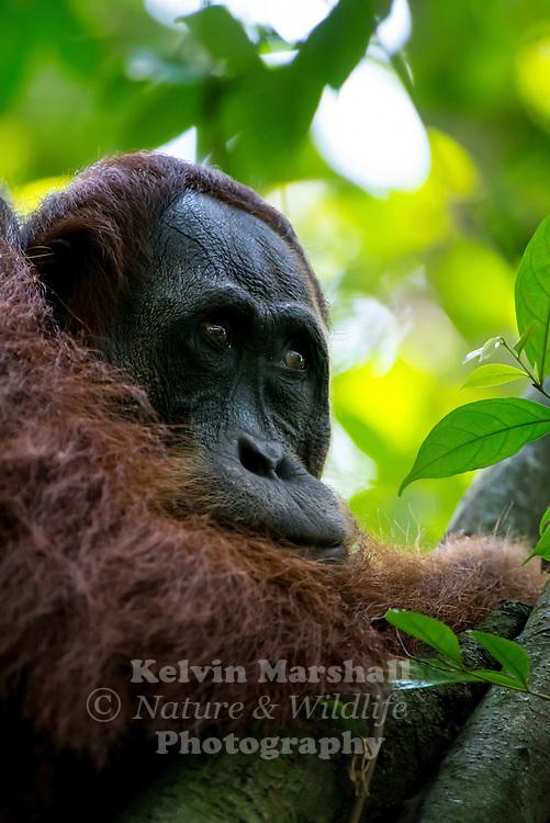 Male Sumatran orangutan (Pongo abelii) is one of the two species of orangutans. Found only on the island of Sumatra in Indonesia, it is rarer than the Bornean orangutan. Gunung Leuser National Park, Bukit Lawang - Northern Sumatra Indonesia.