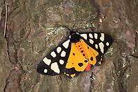 Schwarzer Bär, Arctia villica, Epicallia villica, cream-spot tiger, L'Écaille fermière, Écaille villageoise, Bärenspinner, Arctiidae, Arctiinae, erebid moths, erebid moth, woolly bears, woolly worms