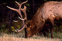 Mount Robson Provincial Park, Canadian Rockies, BC, British Columbia, Canada - Bull Elk, Wapiti (Cervus canadensis) grazing in Meadow.  The Bull Elk has a broken antler tip and marks in its fur due to fighting with another Bull Elk in rutting season.